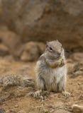 灰鼠地面 在自然吃和跃迁的草原土拨鼠 库存照片