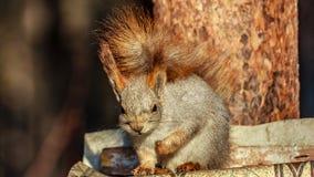 灰鼠坐杉木分支 免版税库存图片