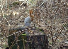 灰鼠坐杉木树桩 库存图片