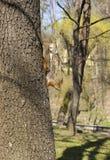 灰鼠坐树干头下来 库存照片