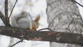 灰鼠坐树枝4 股票录像