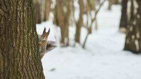 灰鼠坐树 库存图片