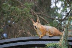 灰鼠坐篱芭在城市公园 免版税库存照片