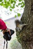 灰鼠好奇对照相机 库存照片