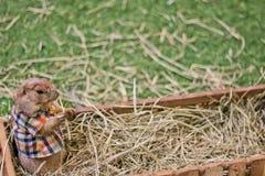 灰鼠小动物 免版税图库摄影