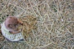 灰鼠小动物 免版税库存图片