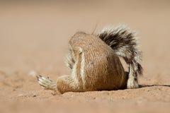 灰鼠尾标 免版税库存图片