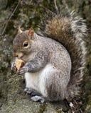 灰鼠快餐时间在中央公园 图库摄影