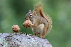 灰鼠拿着一枚坚果 免版税库存照片