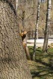 灰鼠攀登树干并且看照相机 库存照片