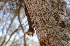 灰鼠攀登树 库存照片