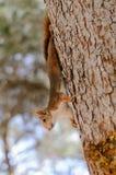 灰鼠攀登树III 图库摄影