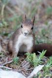 灰鼠攀登树IV 免版税库存照片