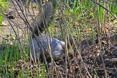 灰鼠春天在森林 免版税库存图片