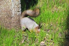灰鼠春天在森林 库存图片