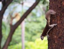 灰鼠是对某事感兴趣下来 免版税图库摄影