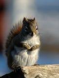 灰鼠木头 免版税库存照片