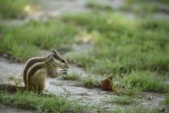 灰鼠泰姬陵印度 免版税库存照片