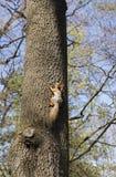 灰鼠爬上树干 图库摄影