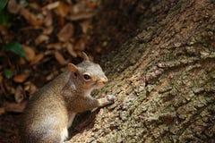 灰鼠爬橡树 免版税库存图片