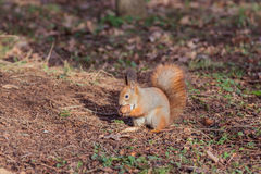 灰鼠用核桃(寻常的中型松鼠) 免版税库存照片