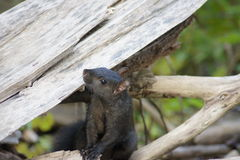 黑灰鼠用横渡的手 免版税图库摄影