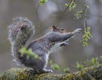 灰鼠胡说的自然野生生物春天 免版税图库摄影