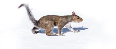灰鼠走象涉及白色背景 库存照片