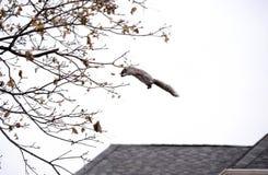 灰鼠飞跃对树枝 免版税图库摄影