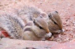 灰鼠,孪生, 免版税库存图片