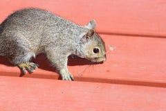 灰鼠,灰色(年轻) 免版税库存照片