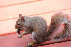 灰鼠,灰色(年轻) 免版税图库摄影