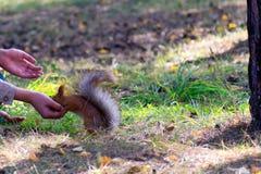 灰鼠从一只手吃在公园 免版税库存图片