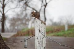 灰鼠&坚果 免版税图库摄影