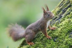 灰鼠(寻常的中型松鼠),坐与青苔的一棵核桃树 免版税库存照片