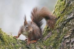 灰鼠(寻常的中型松鼠),坐与青苔的一棵核桃树 库存图片