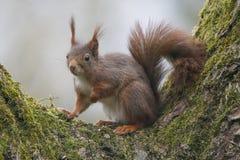 灰鼠(寻常的中型松鼠),坐与青苔的一棵核桃树 图库摄影