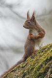 灰鼠(寻常的中型松鼠),坐与青苔的一棵核桃树 免版税库存图片