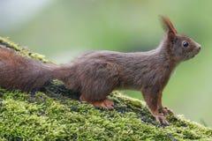 灰鼠(寻常的中型松鼠),坐与青苔的一棵核桃树 库存照片