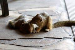 灰鼠-我爱你-纳米比亚非洲 免版税库存照片