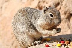 灰鼠(松鼠科动物) 免版税库存图片