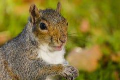 灰鼠画象在公园 库存照片