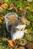 灰鼠画象在公园 免版税库存照片