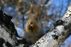 灰鼠画象在桦树的 免版税库存图片