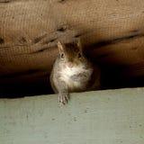 灰鼠画象 免版税库存照片