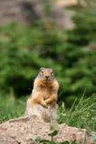 灰鼠 免版税库存图片