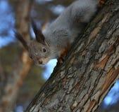灰鼠 免版税图库摄影