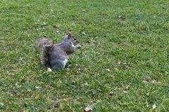 灰鼠 免版税库存照片