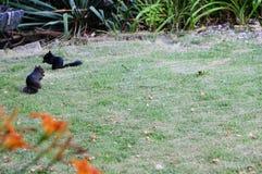 黑灰鼠 库存图片