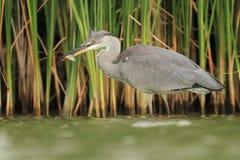 灰质灰色苍鹭的Ardea吃鱼 免版税库存照片